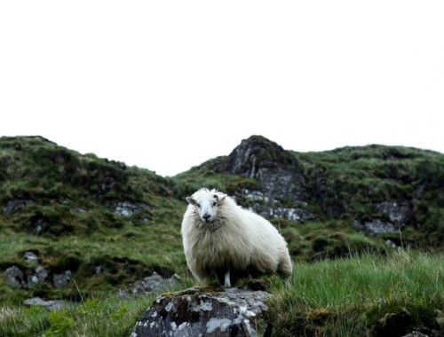 sheep_hither